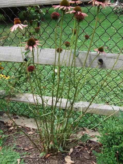 purpleconeflower1