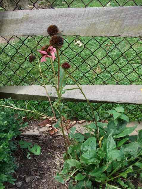purpleconeflower2